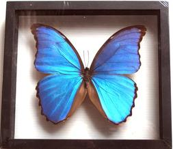 REAL BUTTERFLY MORPHO DIDIUS INSECT TAXIDERMY FRAME WITH DOU